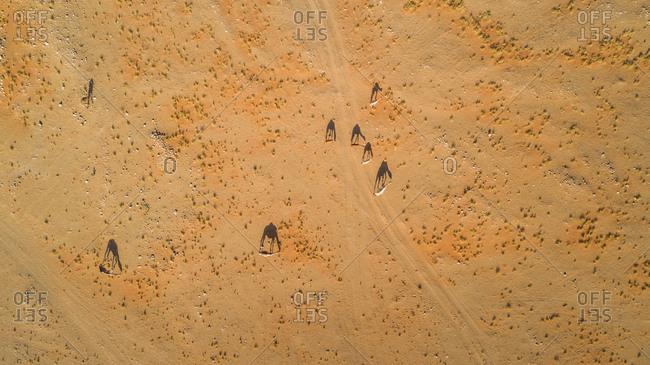 Aerial view of a group of camels in the desert of Sharjah, UAE