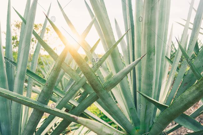 Sun shining through leaves of succulent plant