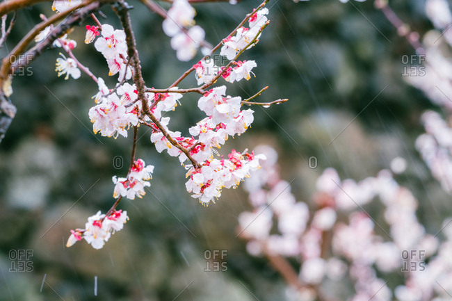 Branch with plum blossoms in rain