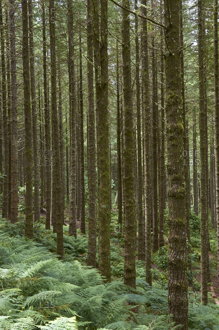 Dense forest of coniferous trees