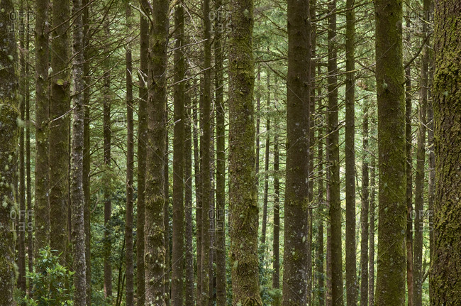 Densely packed forest of coniferous trees