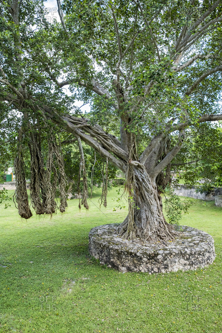 Yaxcopoil, Yucatan, Mexico - October 13, 2017: Fig tree at the Hacienda Yaxcopoil in the state of Yucatan in Mexico