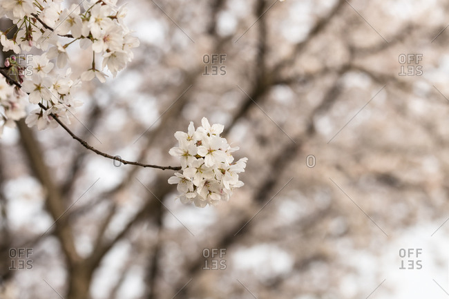 Tree branches and cherry blossoms