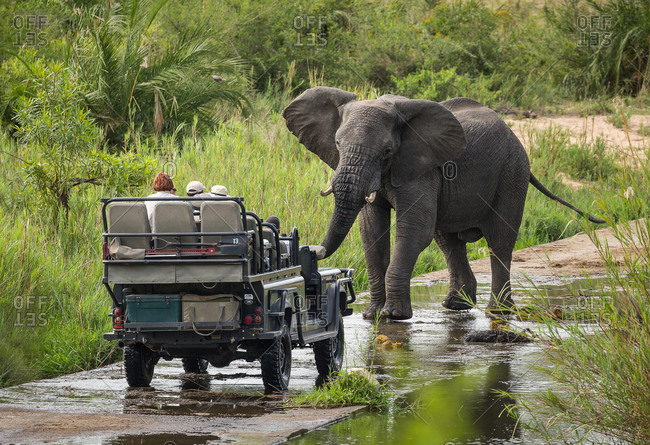 South Africa - November 2, 2017: A large bull African elephant, Loxodonta africana, stands defiantly in front of a safari vehicle