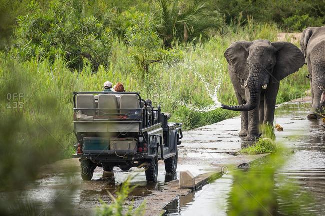 South Africa - November 2, 2017: A large bull African elephant, Loxodonta africana, sprays water towards a safari vehicle