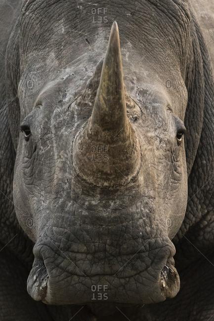 Close up portrait of a white rhinoceros, Ceratotherium simum, looking at the camera