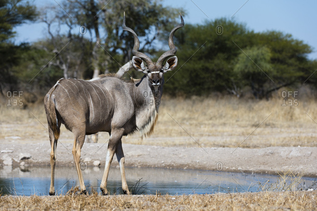 A male greater kudu, Tragelaphus strepsiceros, at waterhole