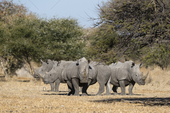 A group of four white rhinoceroses, Ceratotherium simum, standing in the savannah