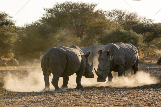 Two white rhinoceroses, Ceratotherium simum, fighting in a cloud of dust at sunset