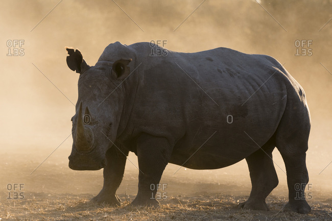 Portrait of a white rhinoceros, Ceratotherium simum, at sunset in a cloud of dust