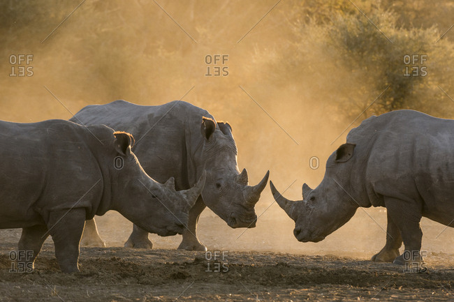 Three white rhinoceroses, Ceratotherium simum, in a cloud of dust at sunset