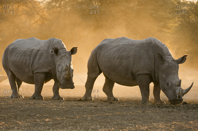 Two white rhinoceroses, Ceratotherium simum, walking in the dust at sunset