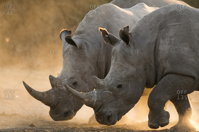 Two white rhinoceroses, Ceratotherium simum, walking in a cloud of dust at sunset