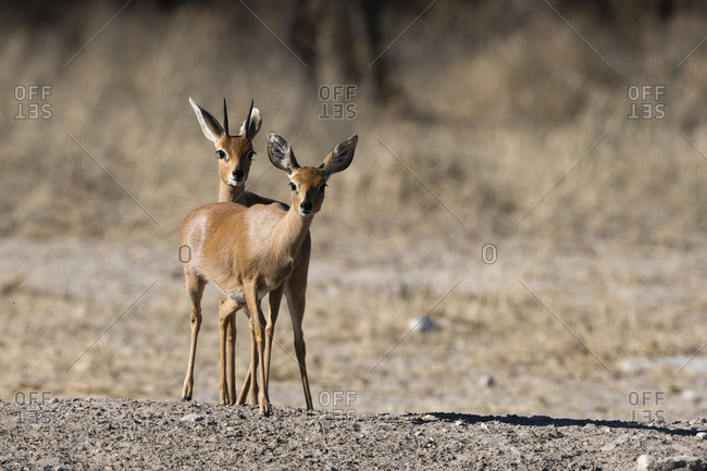 steenbok match