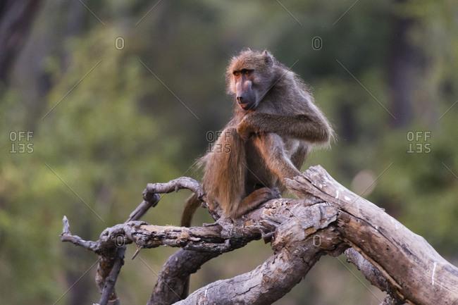A chacma baboon, Papio hamadryas ursinus, on a dead tree branch