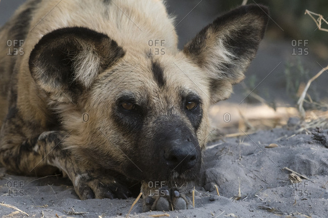 Portrait of an endangered African wild dog, Lycaon pictus