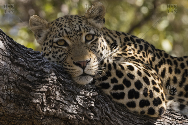 Portrait of a leopard, Panthera pardus, resting on a tree and looking at the camera