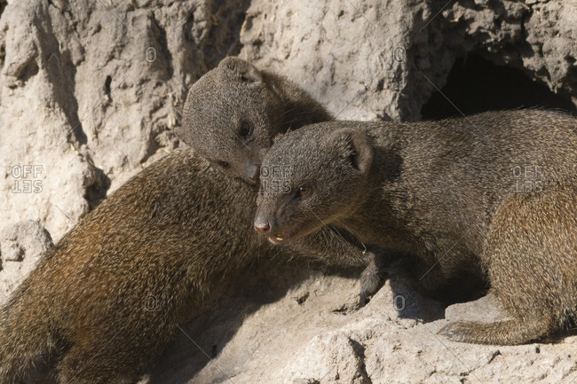 Two dwarf mongooses, Helogale parvula, on a termite mound