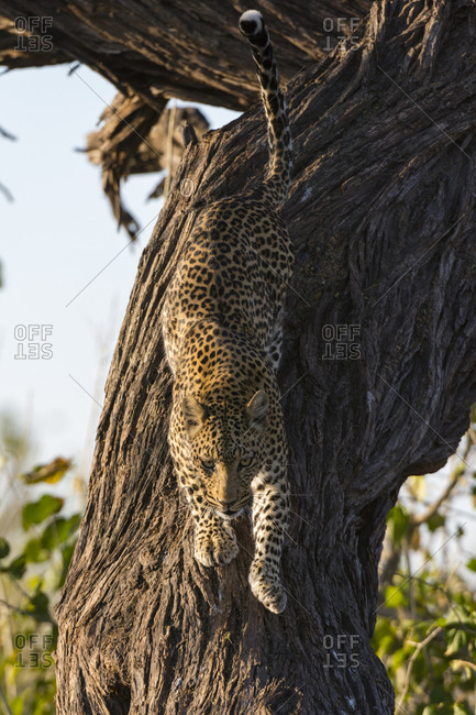 A leopard, Panthera pardus, leaping down from a tree