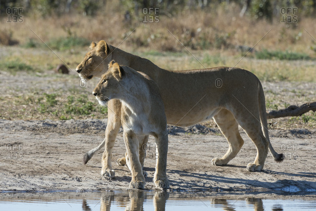 Two lionesses, Panthera leo, at waterhole