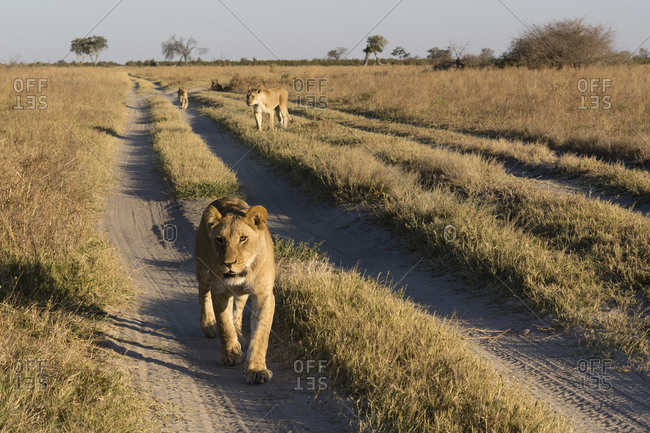 A close view of the lions, Panthera leo, from the Marsh Pride, walking in search of food