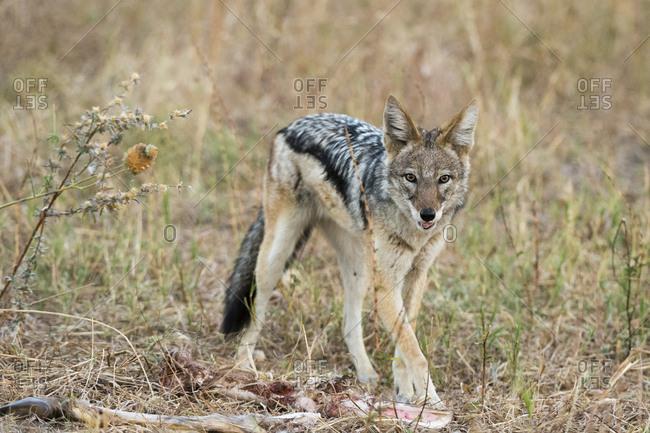 A black-backed jackal, Canis mesomelas, feeding on a carcass