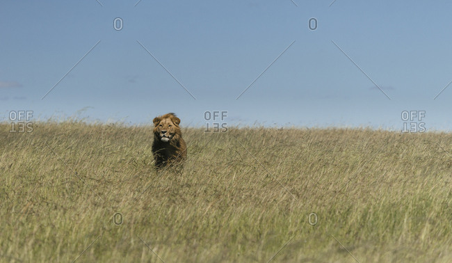 A male Lion, Panthera leo, standing in the long grass in Masai Mara National Park