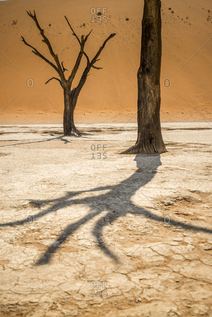 Petrified acacia trees stand near red sand dunes in Sossusvlei