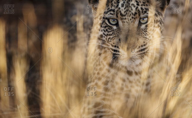 A young Leopard, Panthera pardus, in tall grasses in Etosha National Park