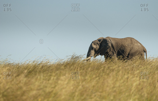 An African elephant, Loxodonta africana, walking in the long grasses