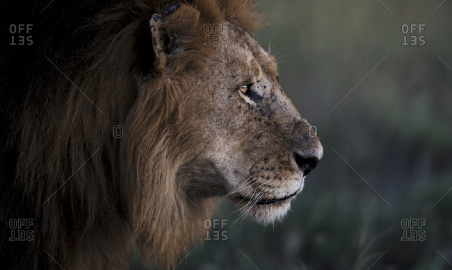 A male African lion, Panthera Leo, looks out into its territory at sunset
