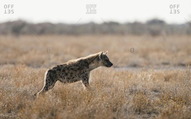 A Spotted hyena, Crocuta crocuta, feeding on carcass in tall grassland