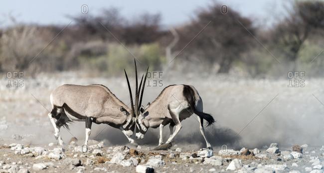 Two Gemsboks, Oryx gazella, fighting at Etosha National Park