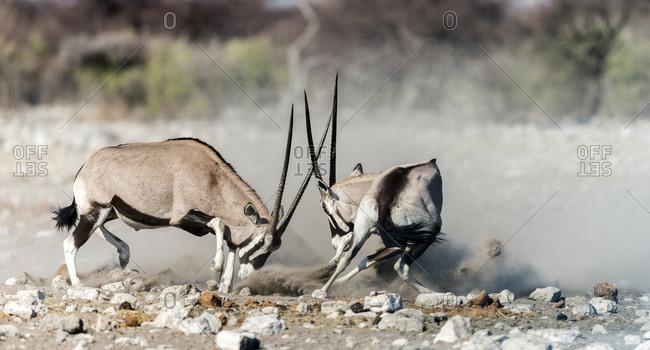 Two Gemsboks, Oryx gazella, fighting, at Etosha National Park
