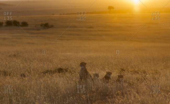 A Cheetah, Acinonyx jubatus, and her three cubs at sunset in the savanna