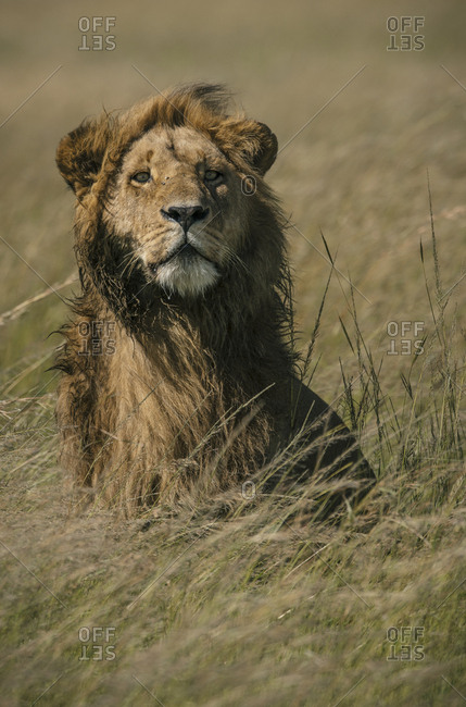 A male Lion, Panthera leo, standing in the long grass in Masai Mara National Reserve