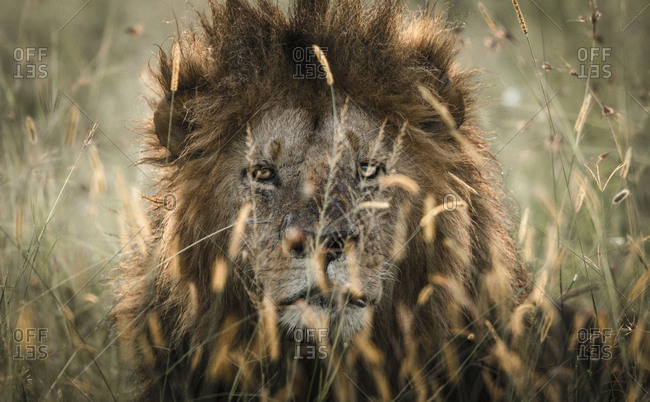 Portrait of a male Lion, Panthera leo, resting in the morning