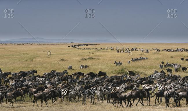 Wildebeest, Connochaetes, and Plains zebra, Equus quagga, migration, Masai Mara National Reserve