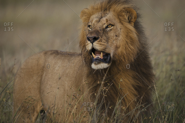 A Lion, Panthera Leo, walks in dry grass in Masai Mara National Reserve