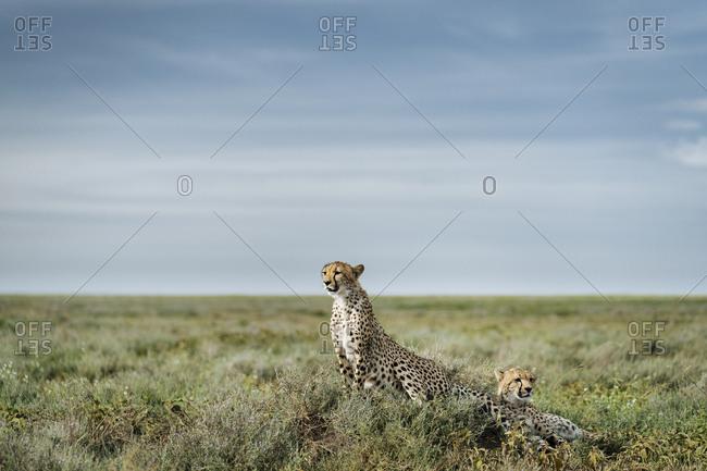 Alert Cheetahs, Acinonyx jubatus, on a mound in Southern Serengeti