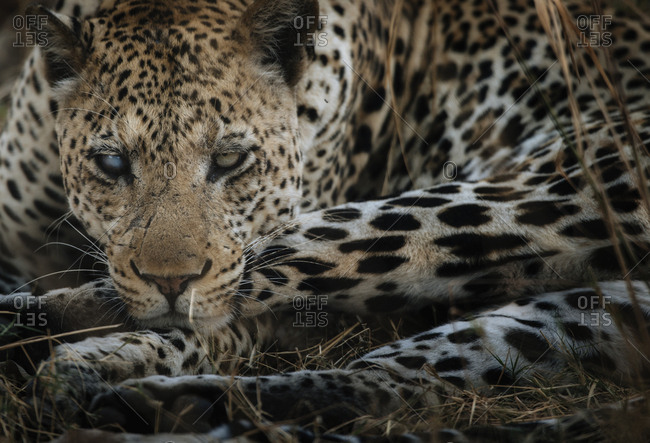 A male African leopard, Panthera pardus, hiding in long grasses in South Luangwa