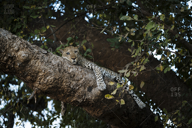 A male African leopard, Panthera pardus, on a branch tree in South Luangwa