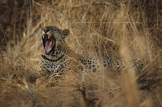 Portrait of a Leopard, Panthera pardus, yawning in long grasses in South Luangwa