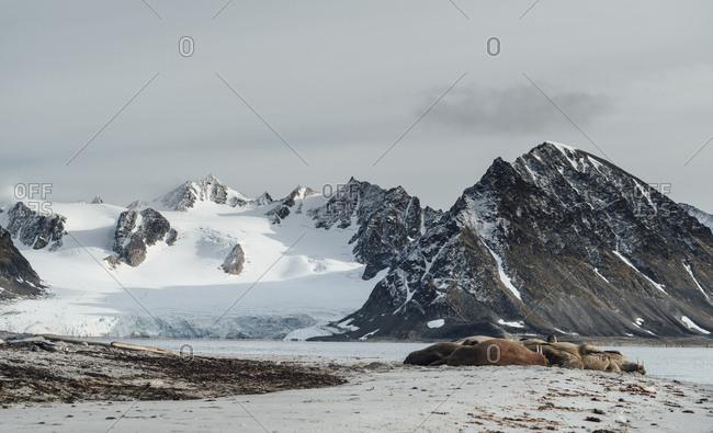 A group of Walrus, Odobenus rosmarus, lying on the beach in Smeerenburg, Svalbard