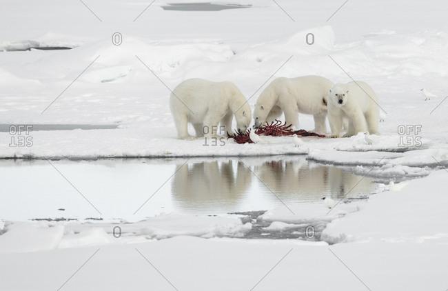 Polar bears, Ursus maritimus, with a kill on the pack ice