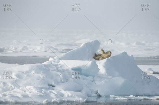 Polar bear, Ursus maritimus, relaxing on the ice in Svalbard
