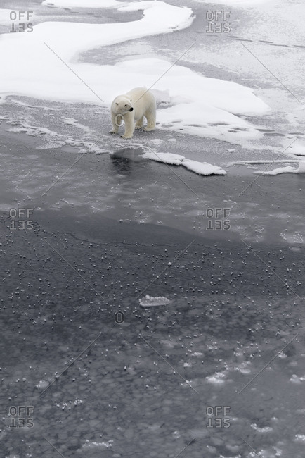 Polar bear, Ursus maritimus, walking on the pack ice in Svalbard