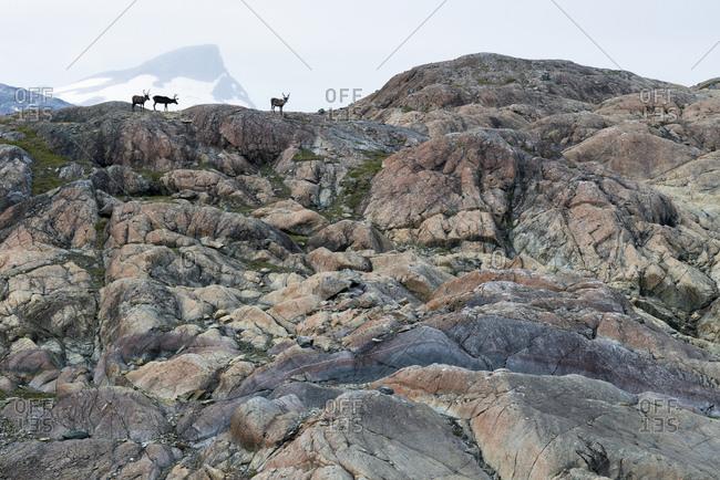 Reindeer, Rangifer tarandus, on serpentine-rich rocks