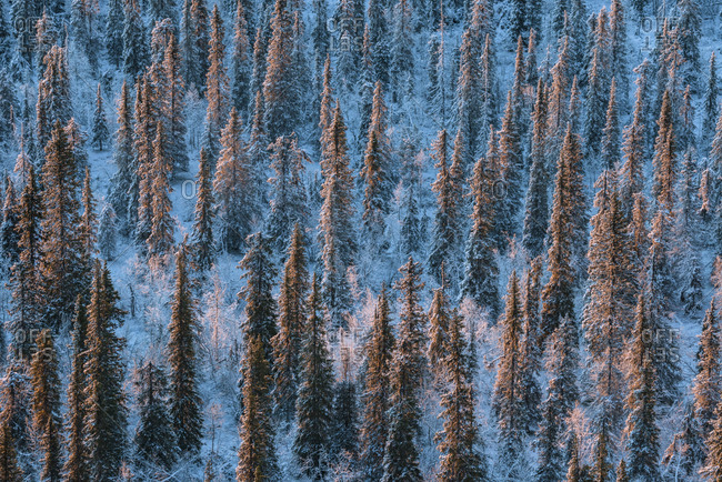Frost and snow-covered Norway spruce, Picea abies, forest
