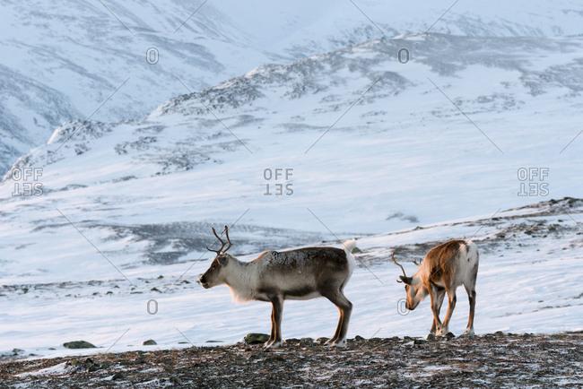 Semi-domesticated Reindeer, Rangifer tarandus, in winter mountain landscape